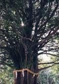 天然記念物 御神木 なぎの老樹