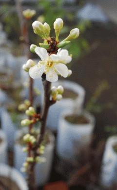 ソルダムの開花
