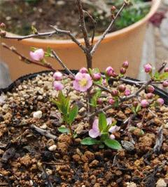 リンショウバイの開花