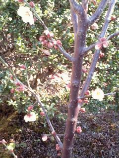 小梅の開花