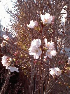 染井吉野が開花しました
