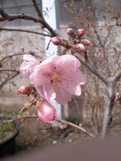 照手水蜜が開花しました