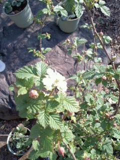 マイラビットの開花
