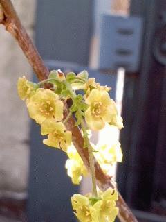 フサスグリが地味に咲いてます
