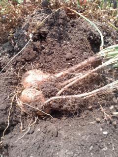 サフランの球根掘り