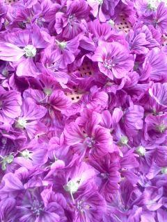 コモンマロウの花摘み