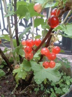 レッドカラントの収穫