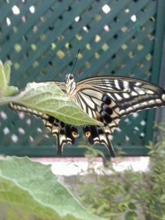 アゲハ蝶が飛んでます