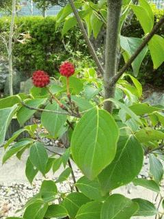 ヤマボウシの実が赤く色づいてます