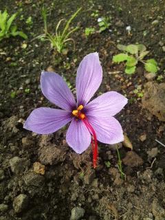 サフランが咲きました
