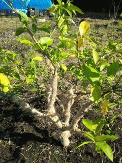 レモンの樹に防寒対策を施しました