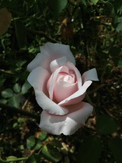 スパニッシュビューティが咲きました