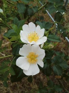 例年通りロサ・カニナが咲いてます