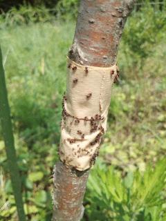 蟻トラップ
