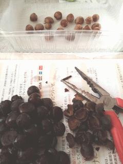 山茶花の種の外殻割り