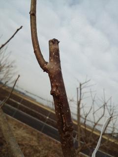 柿の接ぎ木に成功してました
