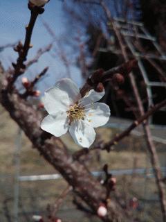 麦黄準杏の花が咲きました