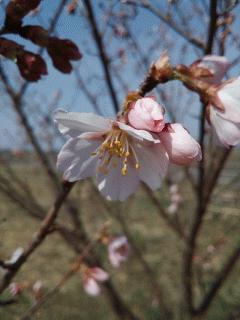 巴波桜が開花しました