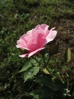 スパニッシュ・ビューティーが咲きました