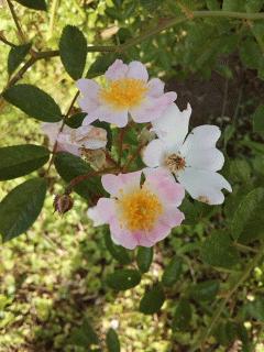 ロサ・ムルティフローラも咲いてます