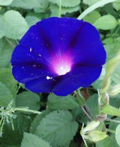 朝顔ブラックナイトが咲き始めました