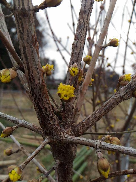 農園で一番初めに咲くのがサンシュウです