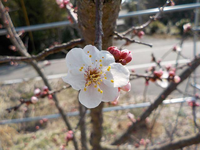 麦黄準杏が例年通りの開花です