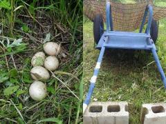 今年もキジが卵を産んでます