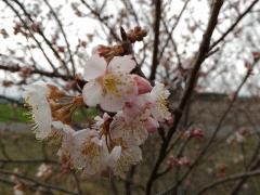 暖地桜桃が1分咲きです