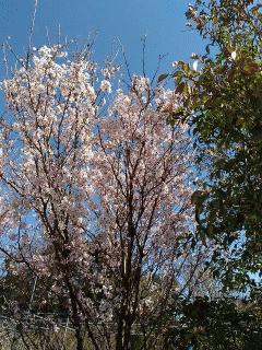 巴波桜が満開です