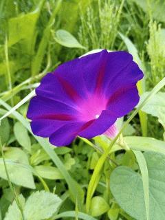 朝顔ブラックナイトが咲きました