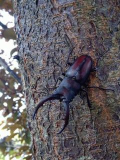 すももの樹にクワガタ