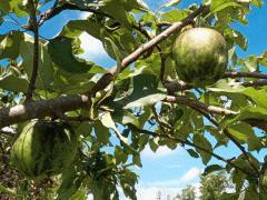 毒リンゴ?
