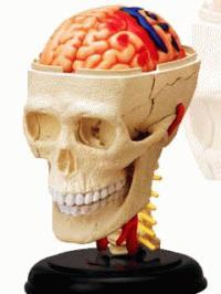 頭解剖モデル - 立体パズル 4D VISION 人体解剖 No.04